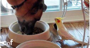 Папагал свирка на куче додека јаде